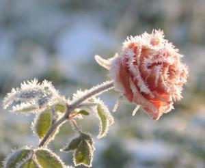 ruusu-kidekuva(500x410)